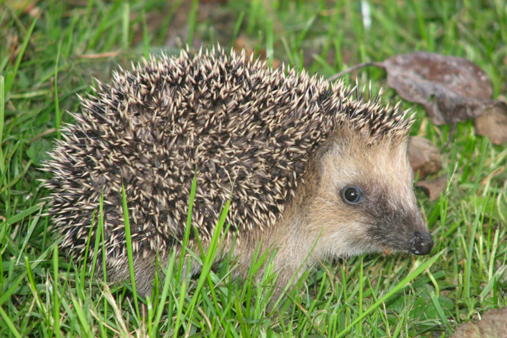 If you see a hedgehog in the daylight it is probably ill or injured, please call your local wildlife center or hedgehog hospital.