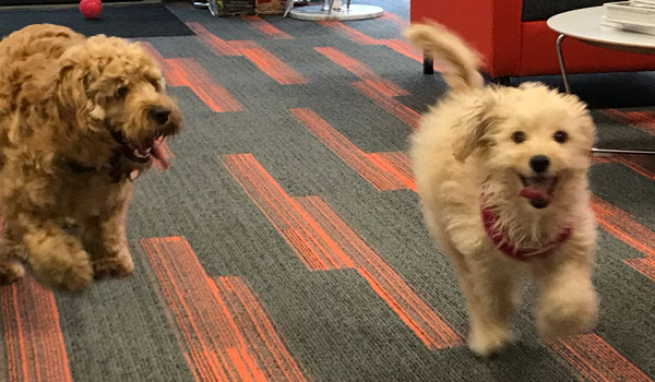 Meet our office dogs, Margot and Bear
