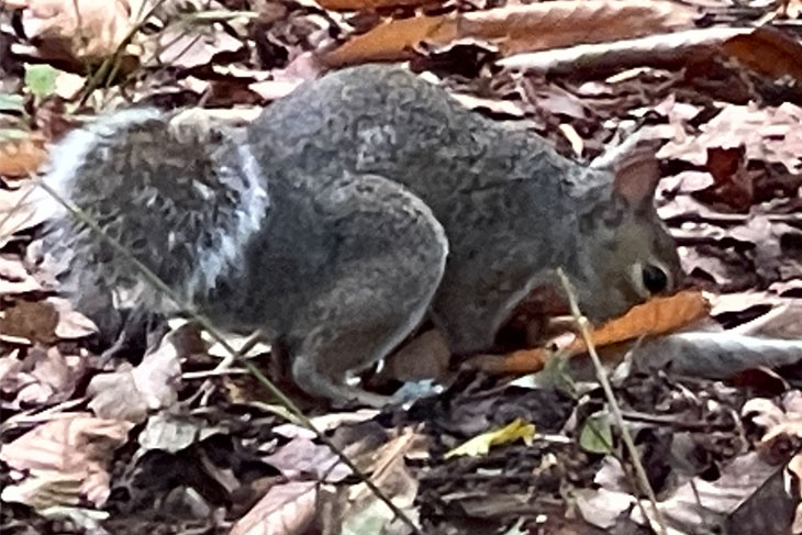 One of the Center Parcs resident squirrel making provision for the impending Winter months.